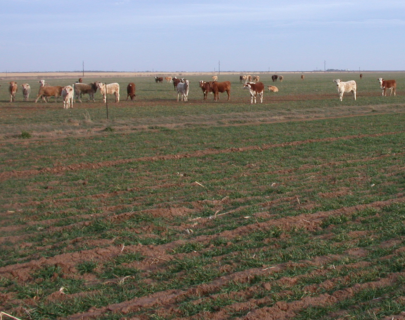 cattle winterwheat