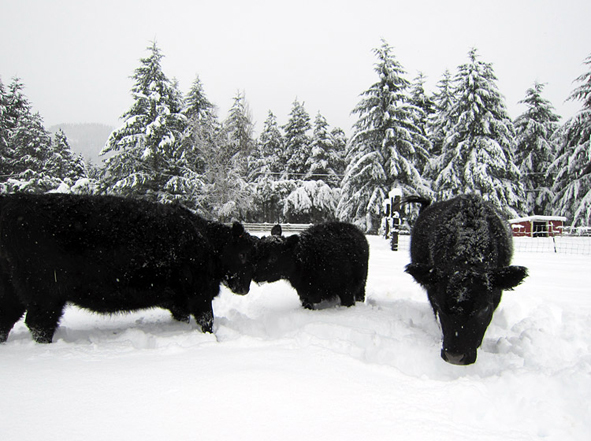 cattle snow angus
